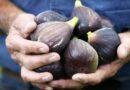 Az édes füge (Ficus carica) jellemzői