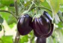 Padlizsán termesztése és gondozása