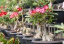 Sivatagi rózsa (Adenium obesum) gondozása