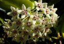 Viaszvirág fajták és szaporításuk