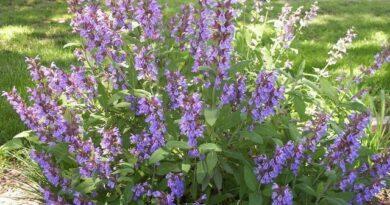 Az orvosi zsálya (Salvia officinalis) ismertetése, termesztése