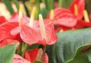 A flamingóvirág (Anthurium) gondozása