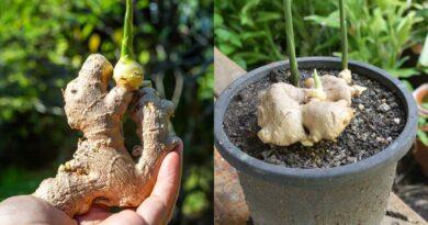A gyömbér gyökér termesztése, felhasználása