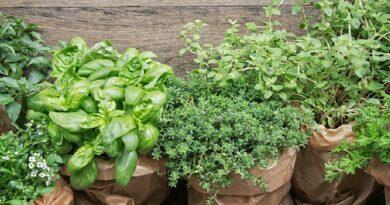 Egynyári fűszereink kezdő kertészeknek