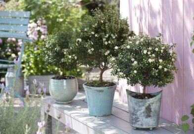 Közönséges mirtusz (Myrtus communis) gondozása