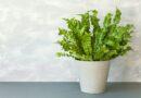 Madárfészekpáfrány (Asplenium nidus) gondozása