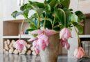 Pompás medinilla (Medinilla magnifica) bemutatása