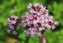 Oregánó (Origanum vulgare) fűszer termesztése, gondozása