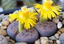 A kavicsvirág (Lithops), kavicskaktusz vagy kavicsnövény gondozása