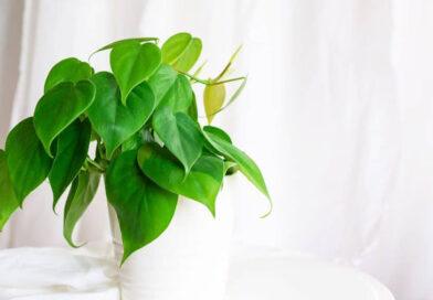 Kúszó filodendron (Philodendron scandens) gondozása