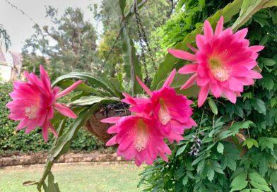 Levélkaktusz (Epiphyllum) gondozása