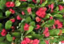 Pompás kutyatej (Euphorbia milii) gondozása