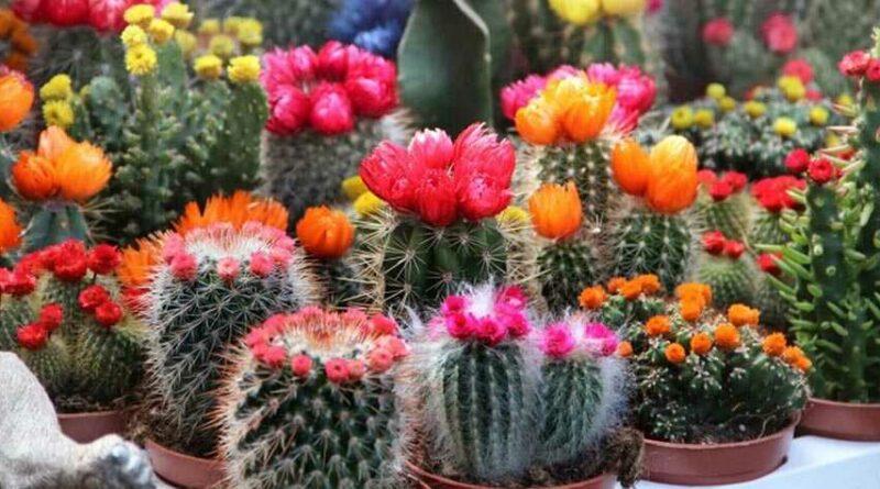 Hogyan virágoztassuk kaktuszainkat?
