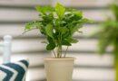 Kávécserje (coffea arabica) gondozása, szaporítása