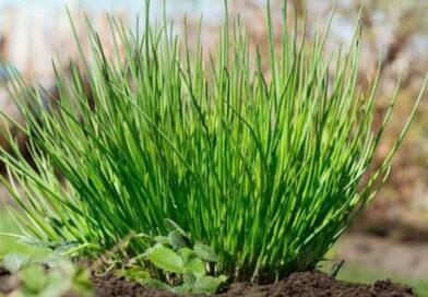 Metélőhagyma (snidling) gondozása, ültetése