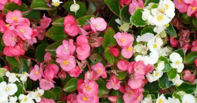 A mindignyíló begónia (Begonia semperflorens) gondozása, ültetése